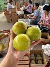 大荔冬棗產地批發圖片
