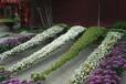 龍巖藝菊種植價格