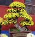 珠海藝菊種植價格