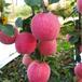 大量供應陜西洛川紅富士蘋果