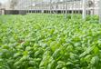 灣區綠菜水水耕蔬菜硒含量高于普通蔬菜解決國人缺硒痛點