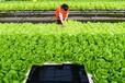 灣區綠菜水培蔬菜高營養高安全性現代人更青睞水培蔬菜