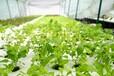 灣區綠菜鄉村振興綠色農業政策紅利下水培蔬菜將遇發展良機