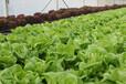 灣區綠菜水培蔬菜五酒店都喜歡用水培蔬菜制作沙拉