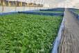 見康水耕水耕蔬菜依靠水培技術見康水耕走出綠色農業特色之路