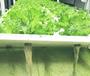 灣區綠菜水耕蔬菜西方人活得比國人長這個原因被很多人忽視