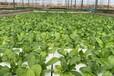 灣區綠菜水耕蔬菜不受地區限制,水培蔬菜讓農業遍地生根??!