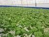 灣區綠菜水耕蔬菜水培蔬菜用水量僅為土培一半節能環保好榜樣
