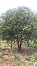 供應四川成都低分枝香泡批發柚子基地供應