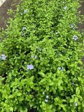 供应四川成都蓝雪花水生植物、地被苗木批发价格表