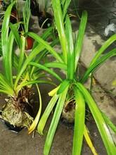 供应四川成都百子莲水生植物、地被苗木批发价格表