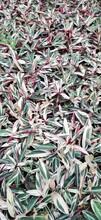 供应四川成都七彩竹芋水生植物、地被苗木批发价格表