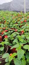 供应四川成都五色梅水生植物、地被苗木批发价格表