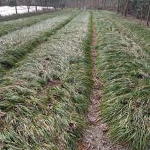 供应四川成都韭兰水生植物、地被苗木批发价格表