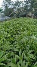 供应四川成都蒲葵水生植物、地被苗木批发价格表