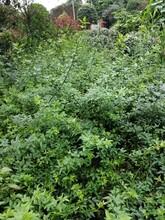 供应四川成都迎春水生植物、地被苗木批发价格表