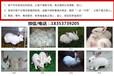 新余肉兔養殖場種兔可以繁殖幾年