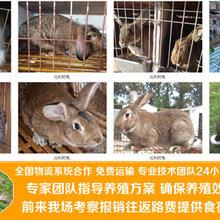 廣安賣肉兔的養殖基地肉兔苗多少錢一只