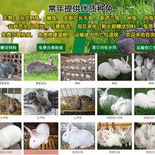 無錫賣肉兔的養殖基地種兔可以繁殖幾年