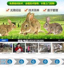 福建福州马尾种兔养殖场手把手教你养兔图片