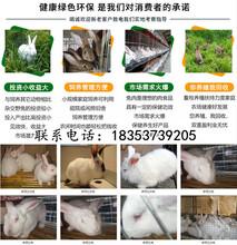 河南洛阳汝阳养兔子基地散养兔技术图片