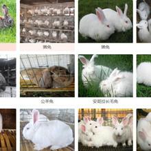 江门市卖肉兔的养殖基地养兔子成本图片