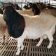 杜泊绵羊养殖厂家图
