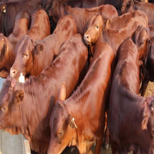 眉山利木赞牛养殖厂家