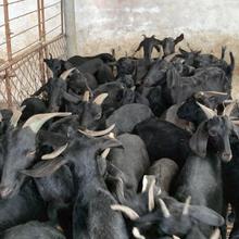 德阳努比亚黑山羊批发价格图片