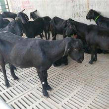 株洲努比亚黑山羊批发图片