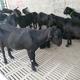 努比亚黑山羊现货图