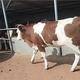 西门塔尔牛养殖批发图