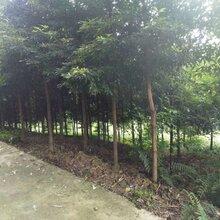 湖北金丝楠木价格图片