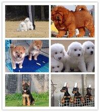 海珠哈士奇价格萨摩耶养狗场电话图片