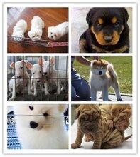 英德市哈士奇价格萨摩耶靠谱的宠物店图片