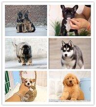 坪山新区哈士奇宠物店萨摩耶正规的宠物店图片