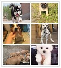 建鄴區哈士奇寵物店德牧犬價格圖片