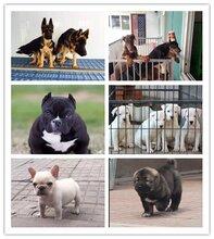 增城哈士奇宠物店萨摩耶好的宠物店图片