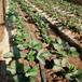 明寶大棚草莓苗明寶草莓苗種植量大從優
