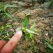 佛萊索李子苗建園佛萊索李子苗種植技術量大從優