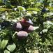 日本新太陽李子苗建園日本新太陽李子苗種植技術農戶推廣