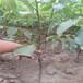 2厘米冠核1號核桃苗品種農戶種植
