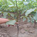 3厘米香玲核桃苗用途農戶種植