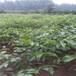 2厘米清香核桃苗建园农户种植