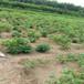 2厘米香玲核桃苗品種農戶種植