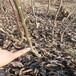 3厘米中農短枝核桃苗用途高產品種
