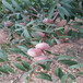 艳光油桃树苗市场适合推广