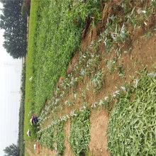 加纳岩桃树苗市场农户推广图片