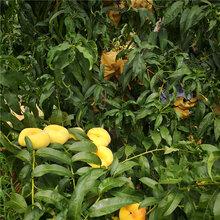 油蟠7-7桃树苗货源地农户推广图片