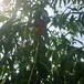 齊魯巨紅桃樹苗供應農戶推廣